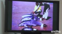 La vaquita marina está al borde de la extinción