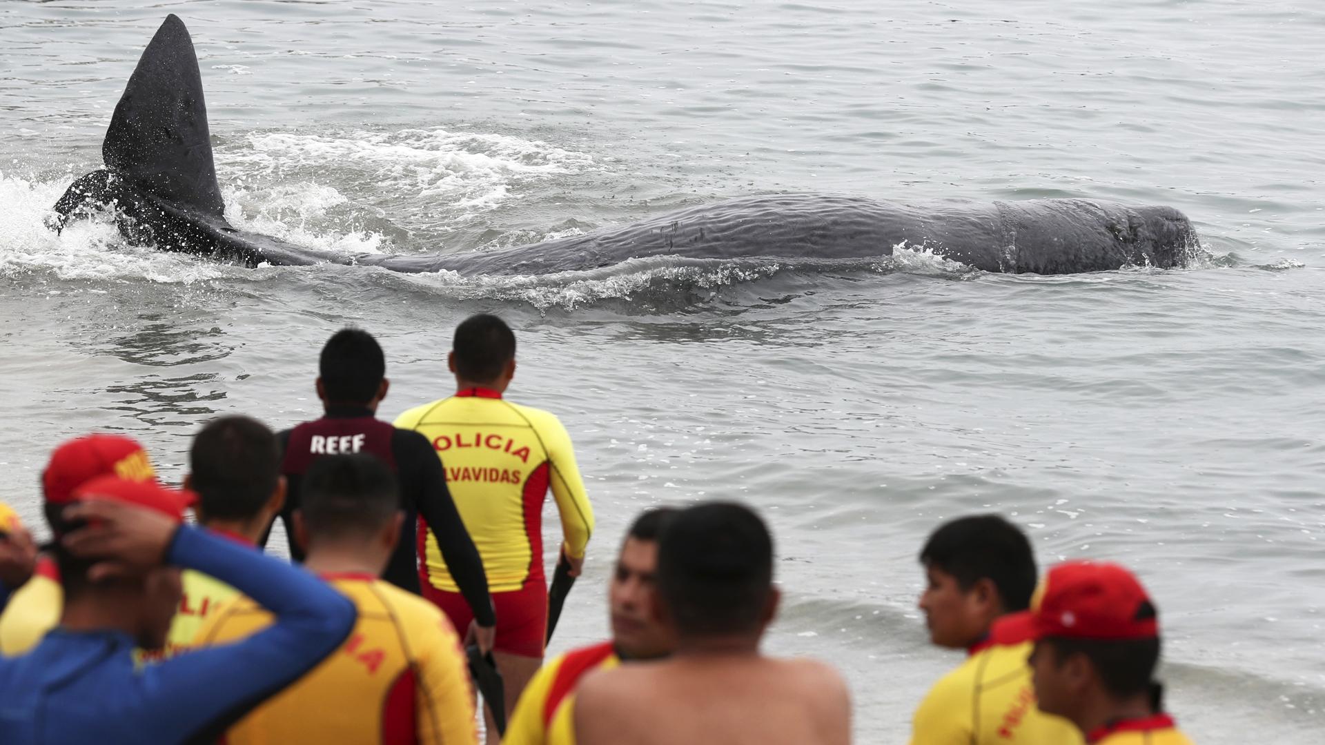 Mira cómo salvaron a esta ballena bebé