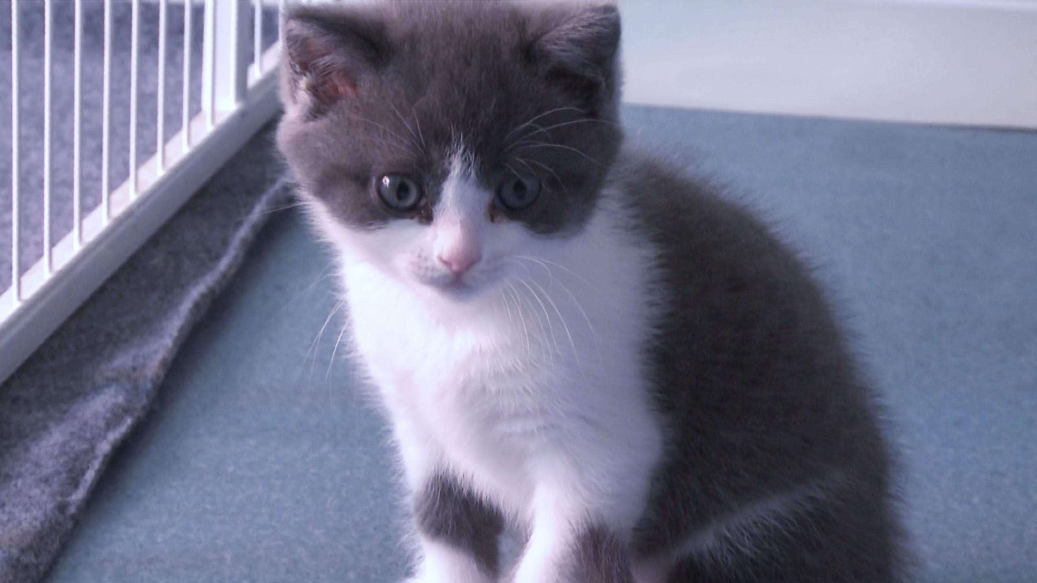 Míralo bien: este gatito es clonado