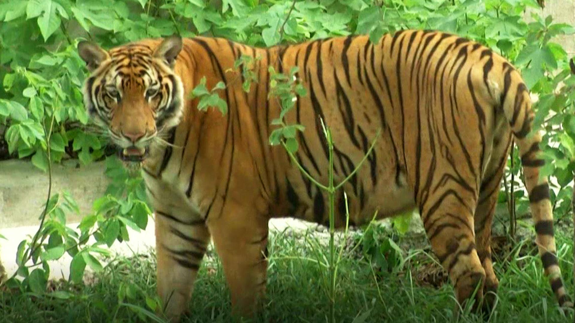 86 tigres rescatados mueren por problemas genéticos
