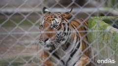 Estos tigres fueron rescatados, pero se están muriendo