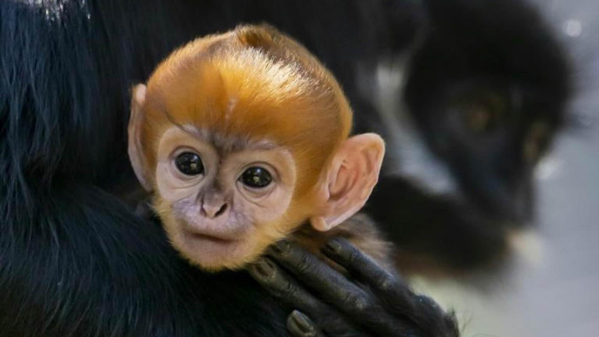 """Nace un mono """"increíblemente raro"""""""