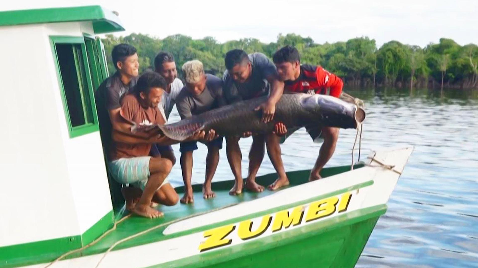 Impresiona el pirarucú, el pez gigante que se convirtió en una delicia