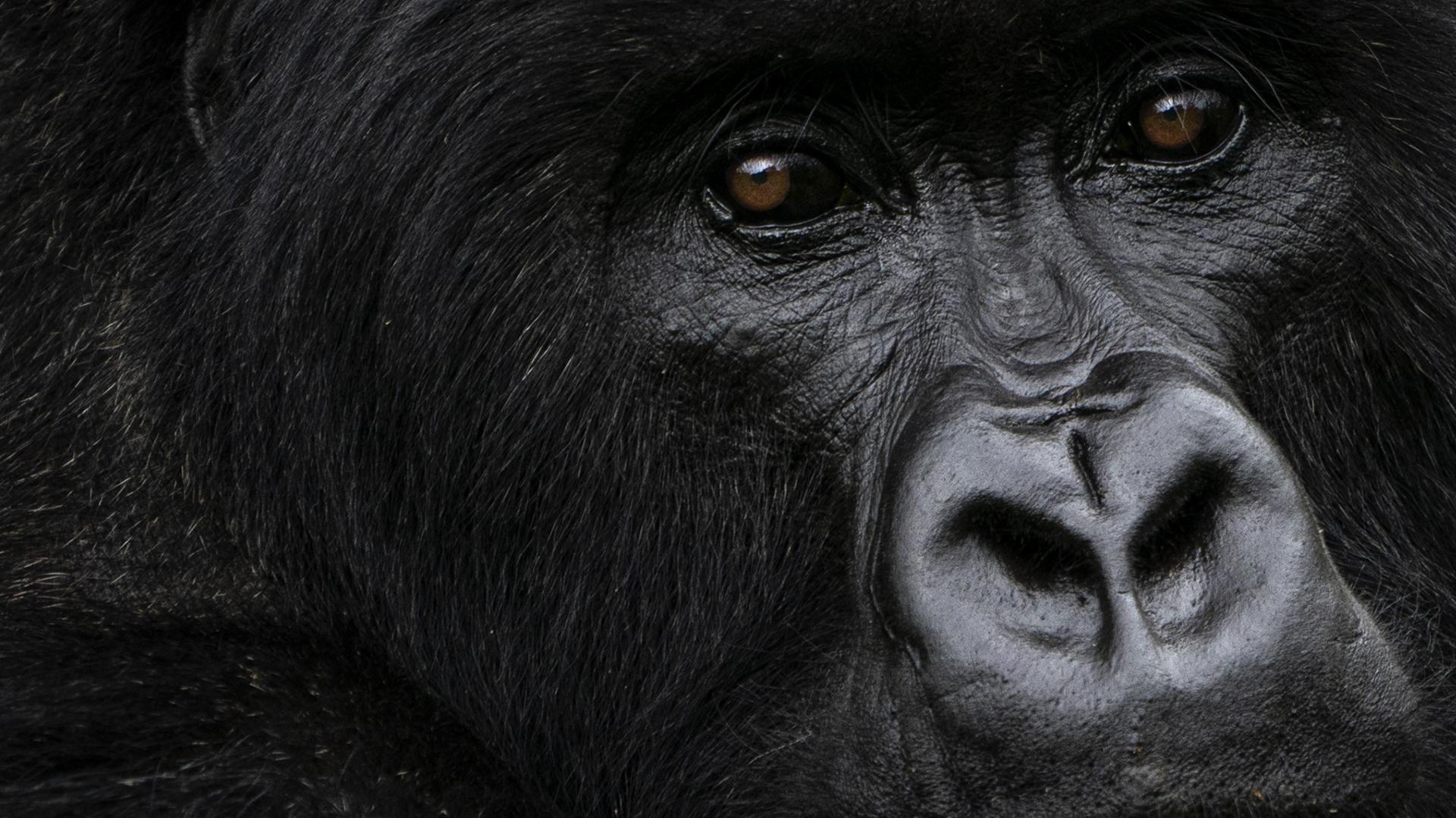 """Las medidas """"extremas"""" para salvar a los gorilas en África"""
