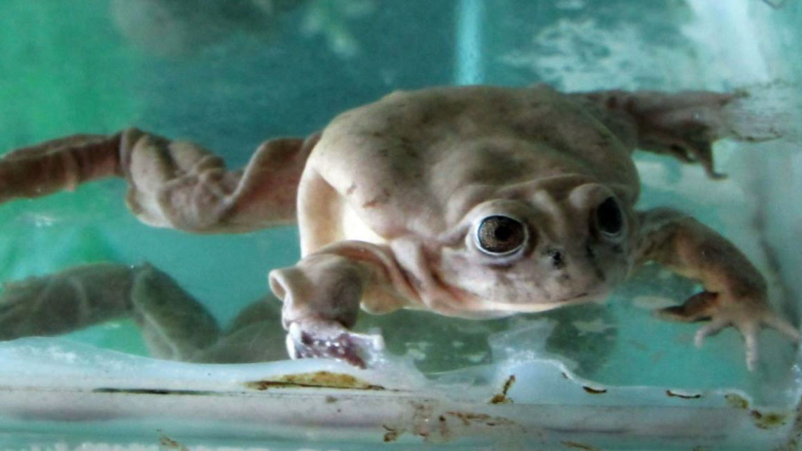 ¡Nacen 36 ranas gigantes! Mira las imágenes