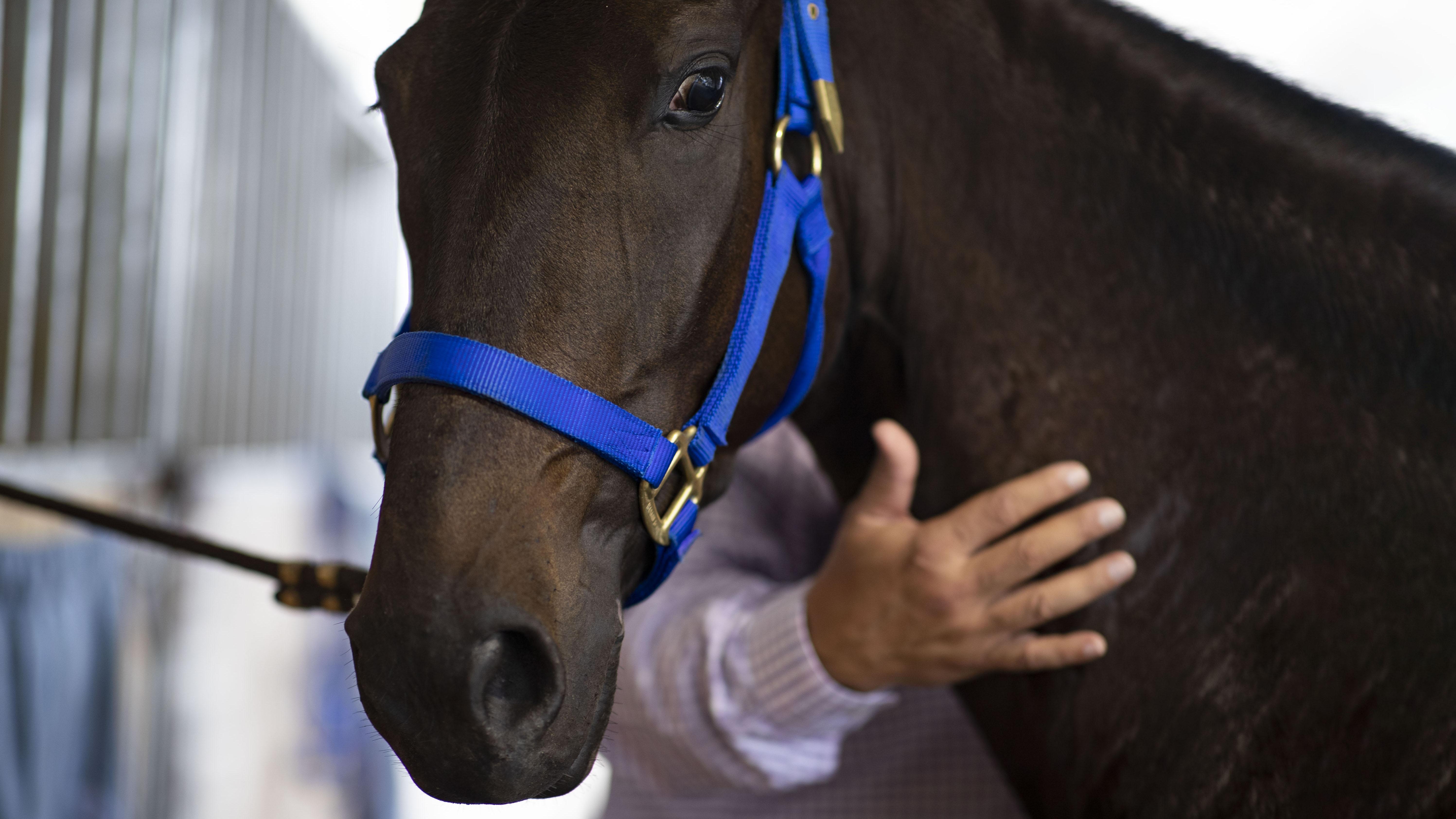 Elegirán en Puerto Rico al mejor caballo de paso fino del mundo