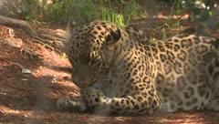 Nacen tres leopardos de Persia