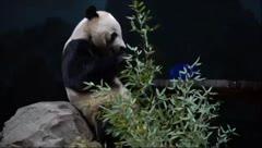 Triste adiós a Bei Bei, el amado panda de Washington