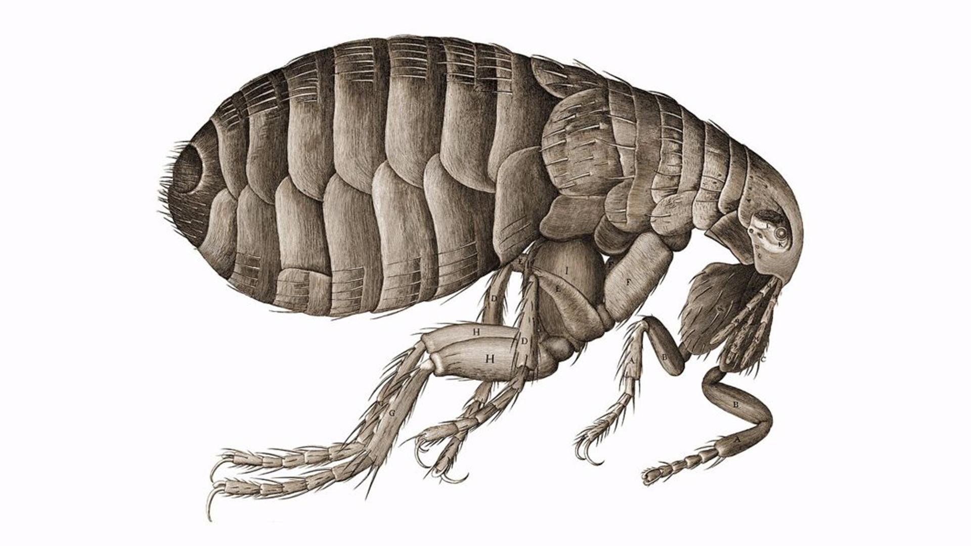 El peligro de la peste bubónica, una de las peores enfermedades del mundo
