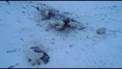 Cómo el cambio climático está afectando a los osos polares