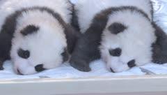 Pandas gemelos, las nuevas caras del zoológico de Berlín