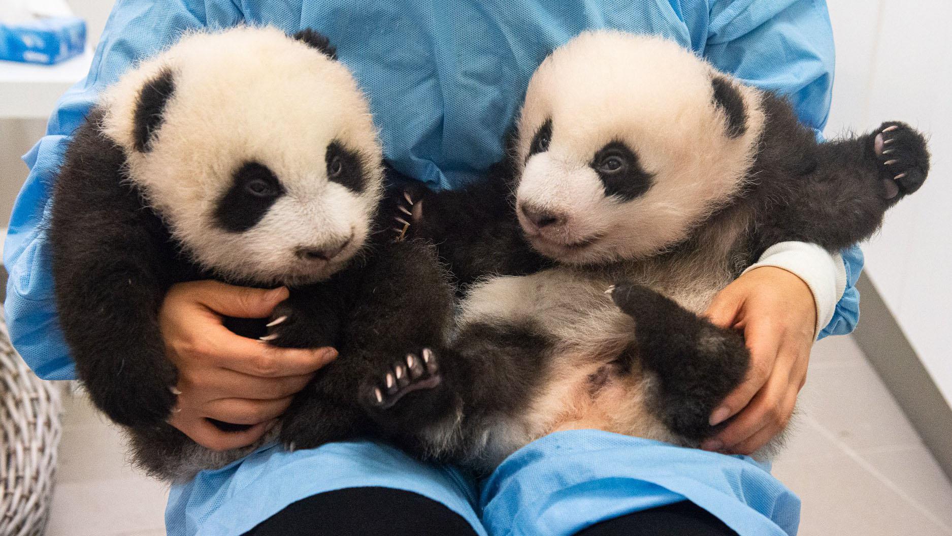 Mira los primeros pasos de los pandas gemelos