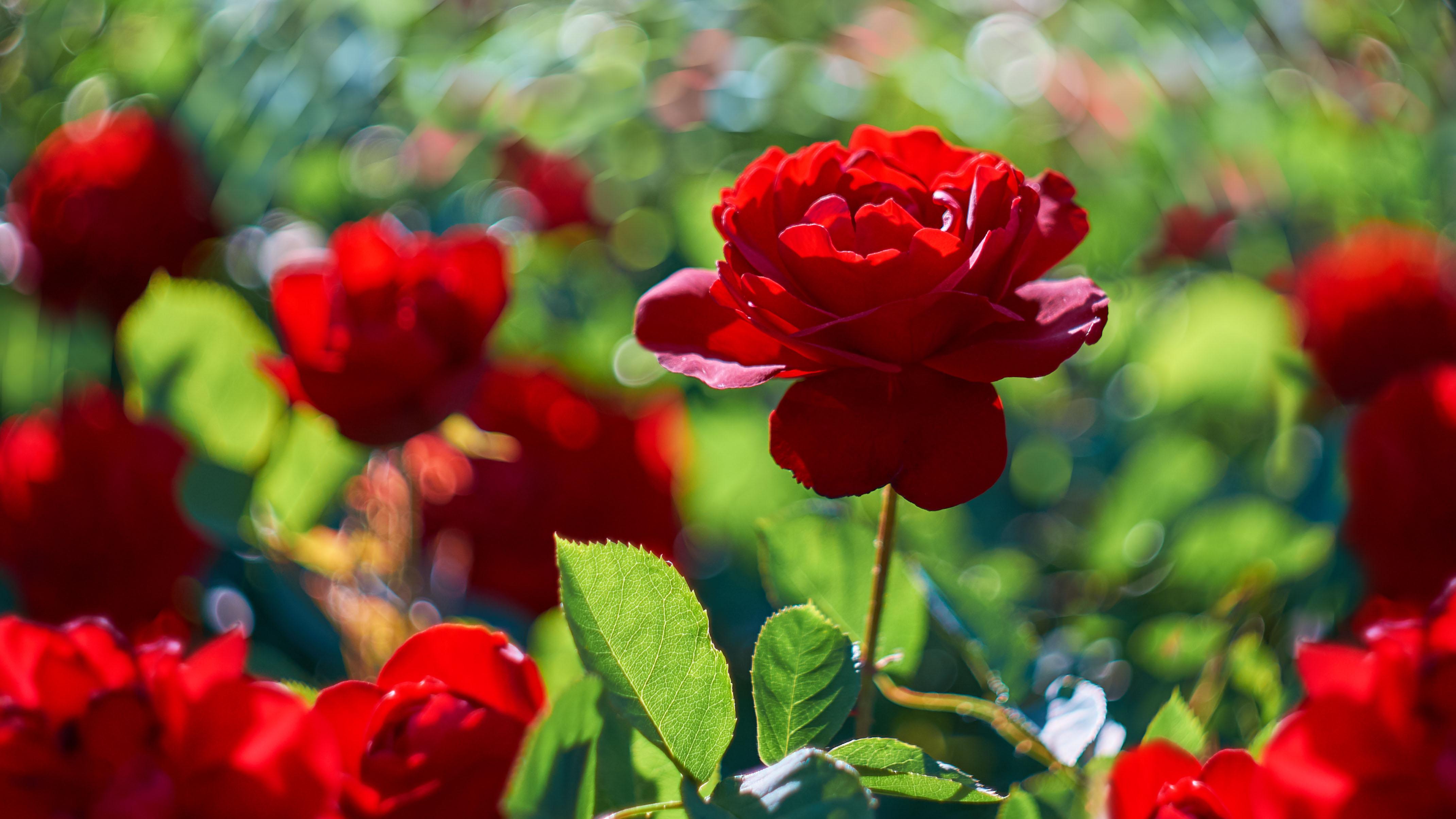 Impresionante operativo de rosas en San Valentín