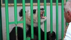 Pandas mexicanas son las más viejas del mundo