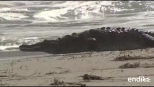 Aparece un cocodrilo de 6 pies en una playa de Florida