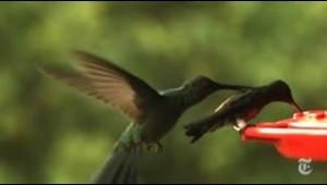 Mira cómo evolucionó el extraordinario pico del colibrí