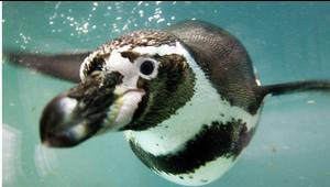 Un video prueba la solidaridad de los pingüinos