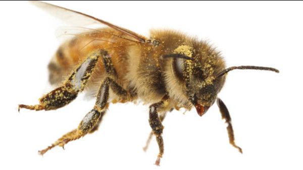 ¿Por qué las abejas zumban?