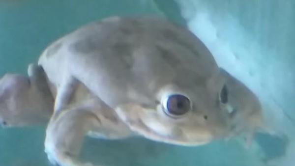 El esperanzador nacimiento de unas ranas gigantes en peligro de extinción
