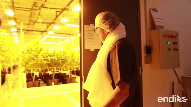 Conoce el trabajo de NextGen, pionereros del cannabis medicinal en la isla