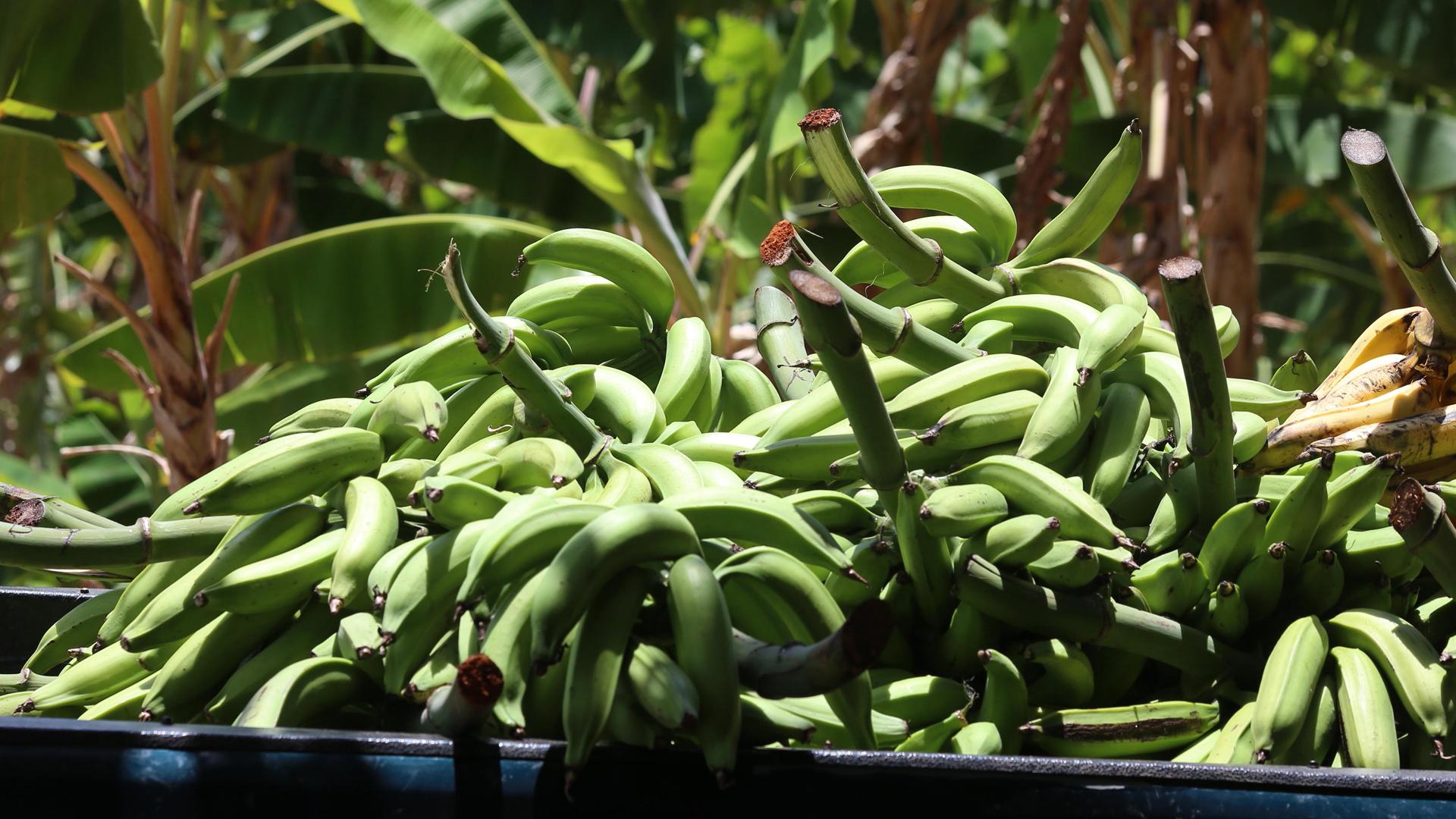 La peligrosa realidad del hongo que destruye a los plátanos y guineos