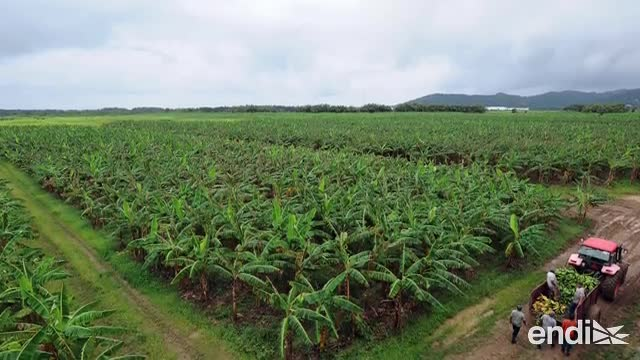 Las 5 medidas del gobierno contra el hongo que mata plátanos y guineos