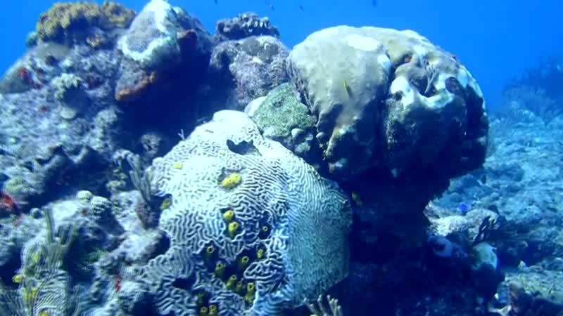 Conoce la rara enfermedad que amenaza los corales del Caribe