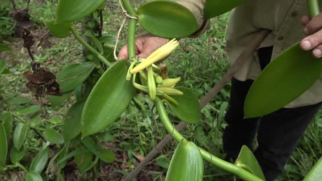 De Lares, la vainilla gourmet que se cosecha en Puerto Rico